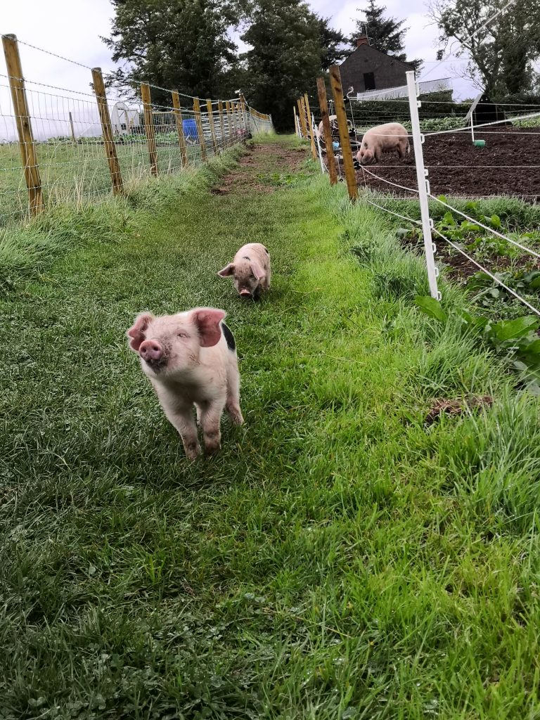 Celebrate the Year of the Pig, and the free range pigs of Jubilee Farm, by taking part in our pig poetry competition!