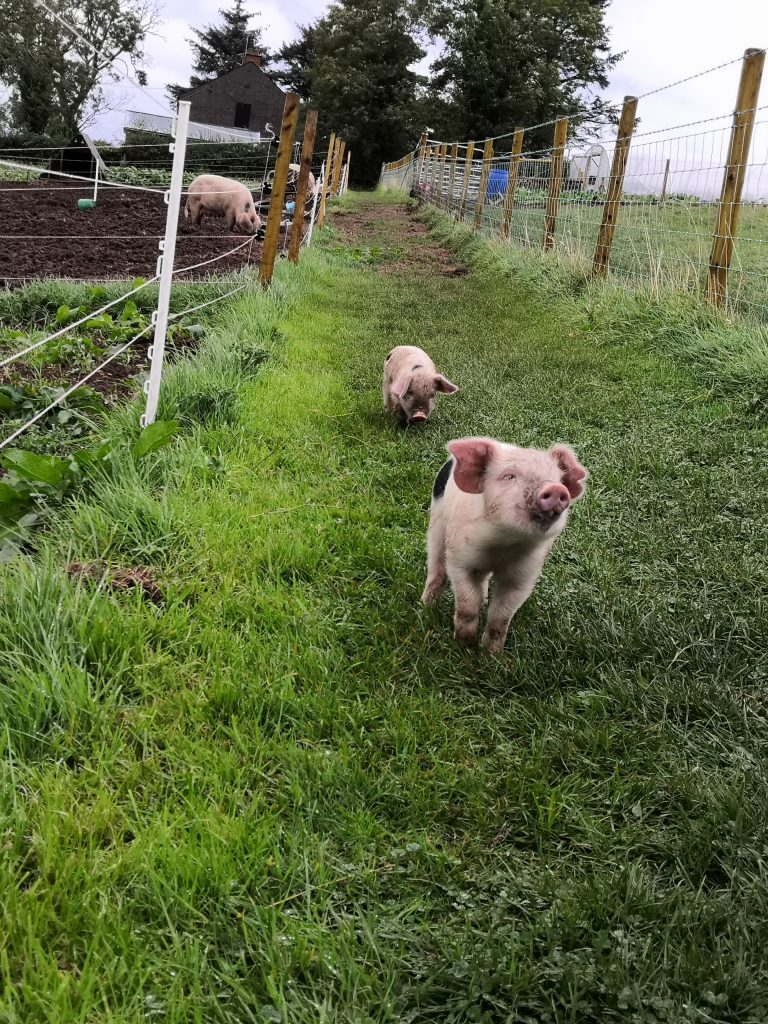 Jubilee's Pig Club pigs are free range.